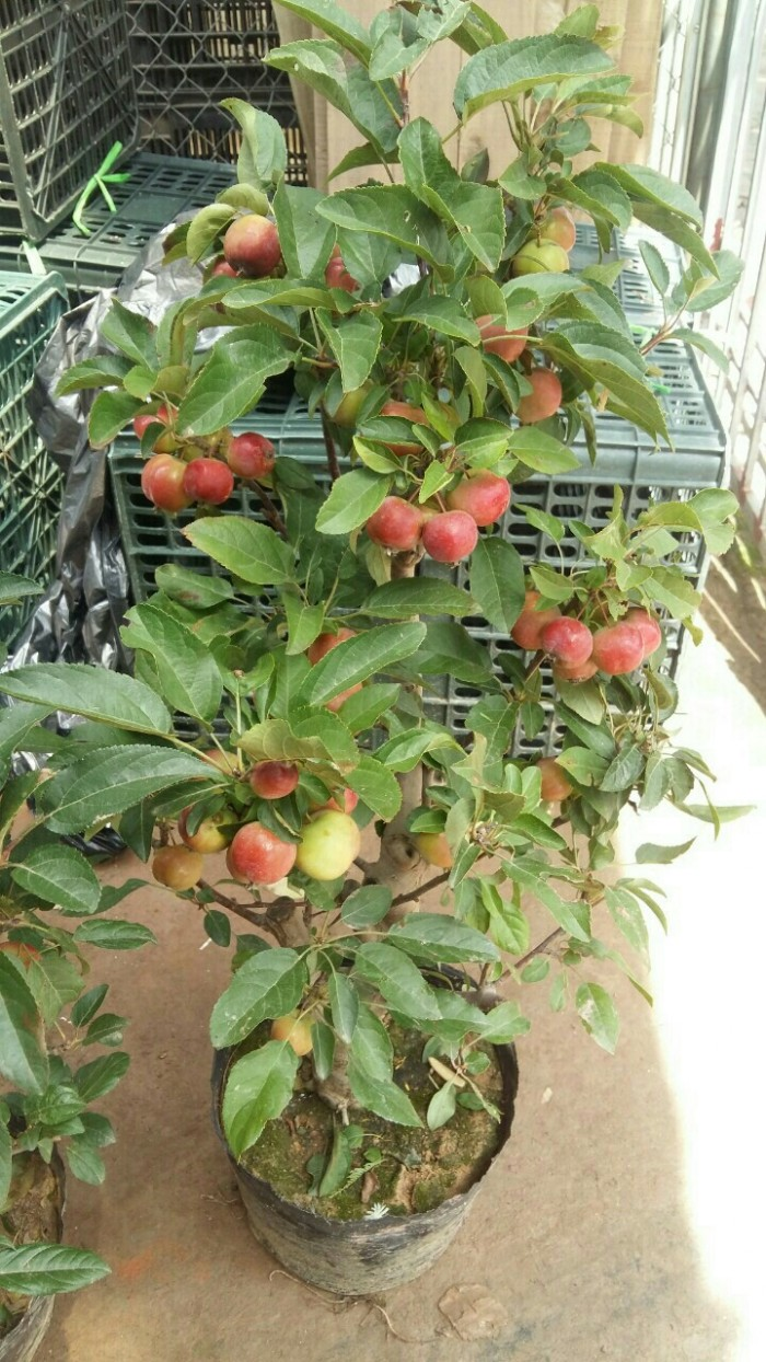 Viện cây giống trung ương, giống cây táo tây ruột đỏ, cung cấp số lượng lớn.1