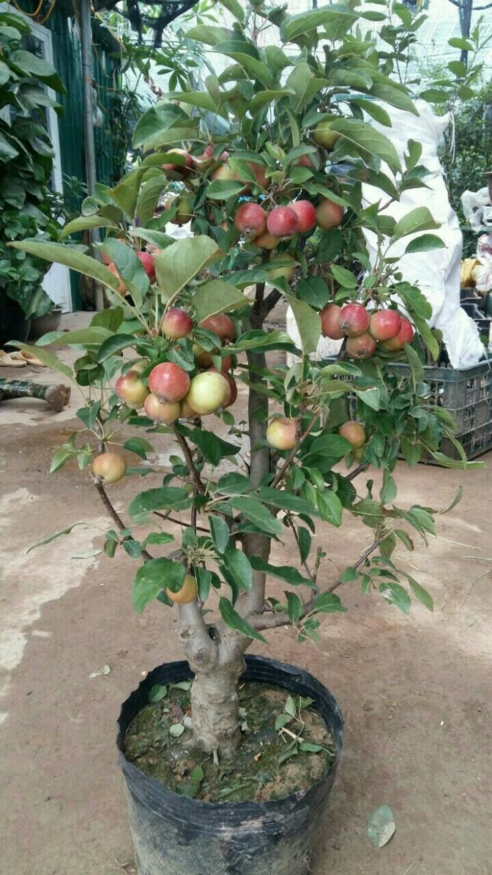 Viện cây giống trung ương, giống cây táo tây ruột đỏ, cung cấp số lượng lớn.3