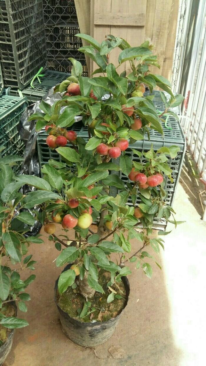 Viện cây giống trung ương, giống cây táo tây ruột đỏ, cung cấp số lượng lớn.2
