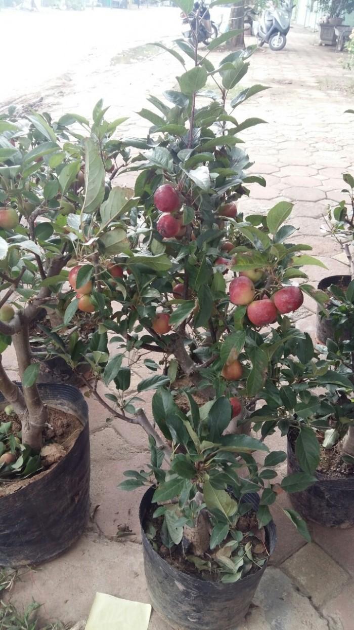 Viện cây giống trung ương, giống cây táo tây ruột đỏ, cung cấp số lượng lớn.0