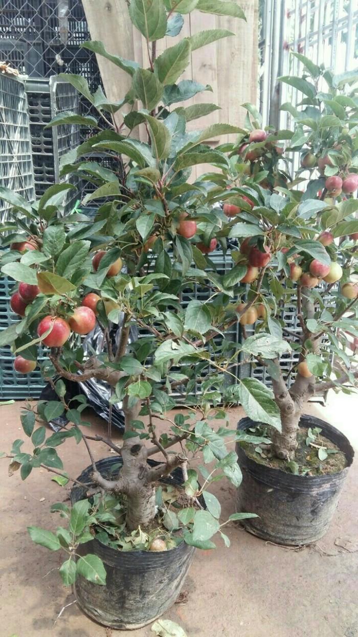 Viện cây giống trung ương, giống cây táo tây ruột đỏ, cung cấp số lượng lớn.5