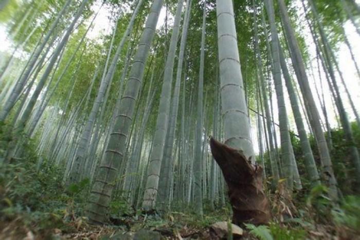 Viện cây giống trung ương, cung cấp giống tre khổng lồ, cây giống chuẩn chất lượng.5