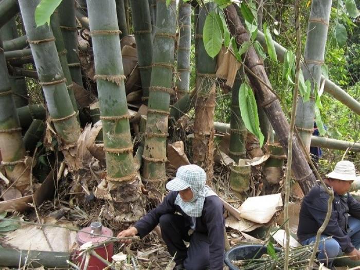 Viện cây giống trung ương, cung cấp giống tre khổng lồ, cây giống chuẩn chất lượng.3
