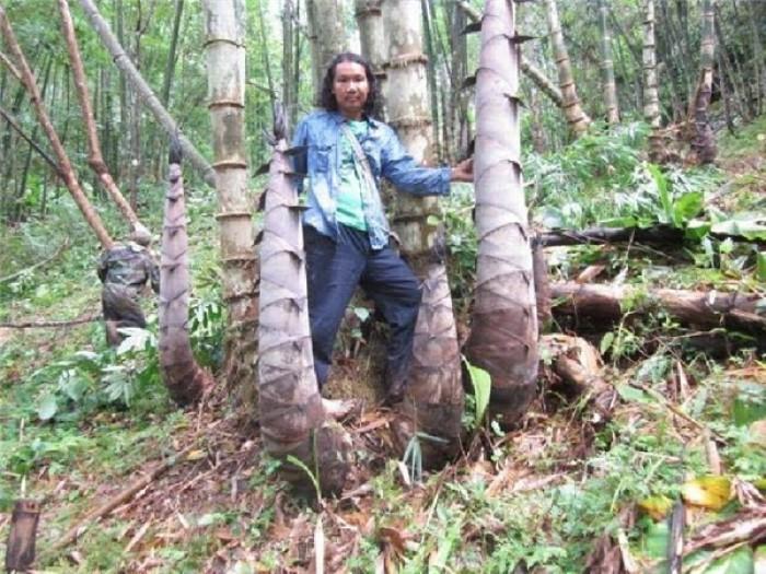 Viện cây giống trung ương, cung cấp giống tre khổng lồ, cây giống chuẩn chất lượng.4