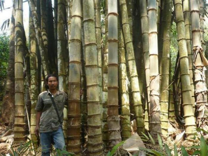 Viện cây giống trung ương, cung cấp giống tre khổng lồ, cây giống chuẩn chất lượng.1