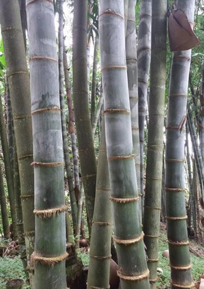 Viện cây giống trung ương, cung cấp giống tre khổng lồ, cây giống chuẩn chất lượng.0