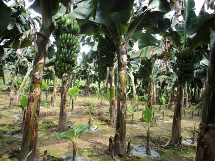 Viện cây giống trung ương, cung cấp số lượng lớn cây chuối già nam mỹ, chuẩn giống.3