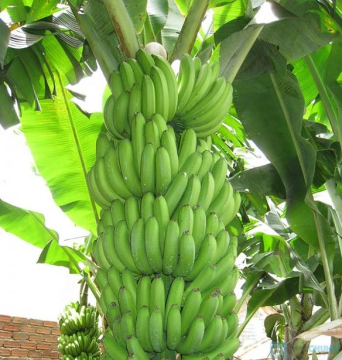 Viện cây giống trung ương, cung cấp số lượng lớn cây chuối già nam mỹ, chuẩn giống.0