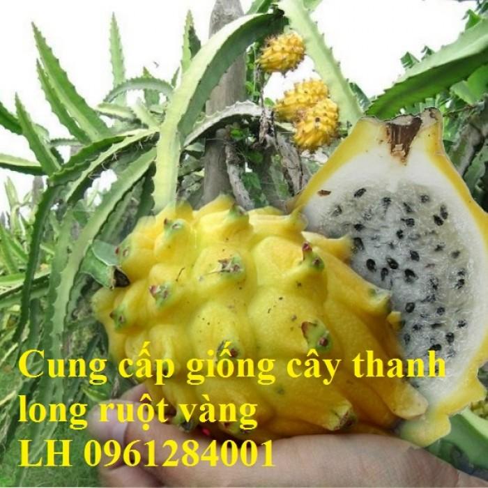 Cung cấp giống Thanh long vỏ vàng Malaysia, thanh long vàng5