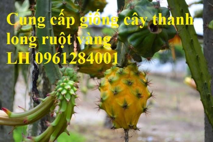 Cung cấp giống Thanh long vỏ vàng Malaysia, thanh long vàng10