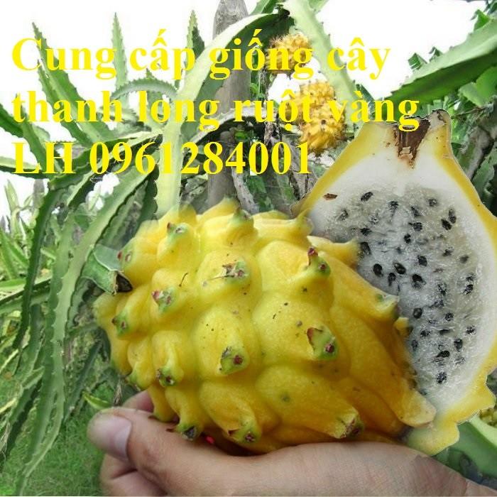 Cung cấp giống Thanh long vỏ vàng Malaysia, thanh long vàng7