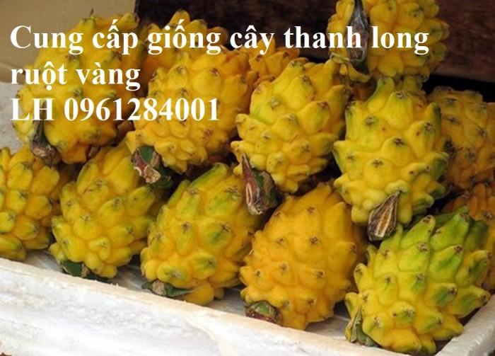Cung cấp giống Thanh long vỏ vàng Malaysia, thanh long vàng8