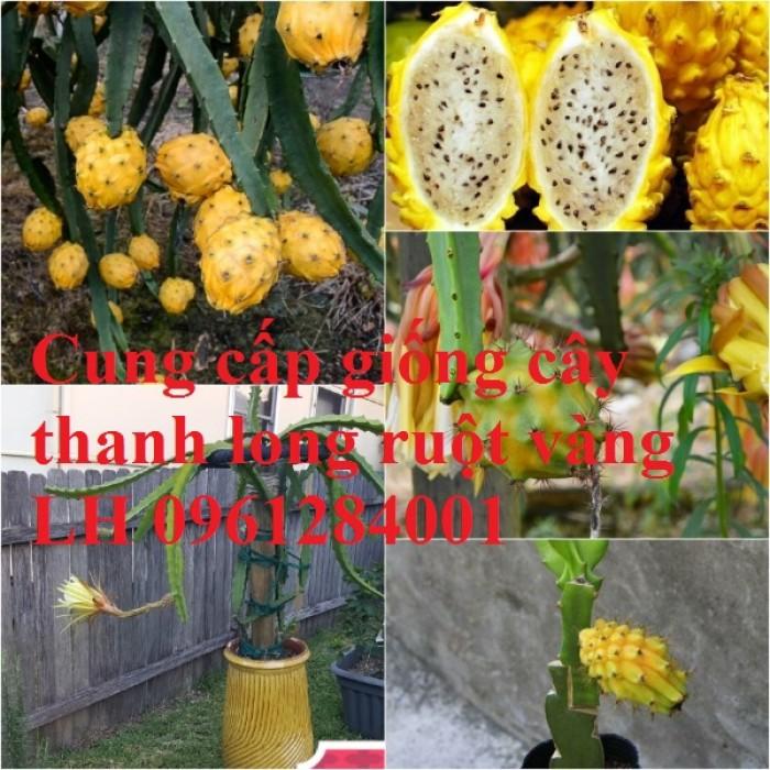 Cung cấp giống Thanh long vỏ vàng Malaysia, thanh long vàng4