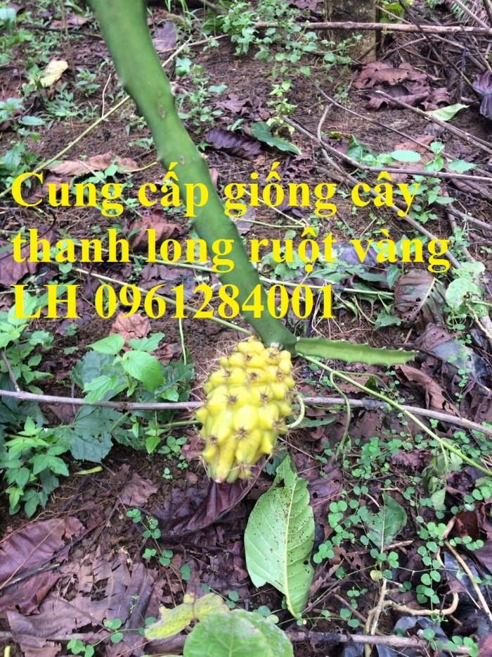 Cung cấp giống Thanh long vỏ vàng Malaysia, thanh long vàng1