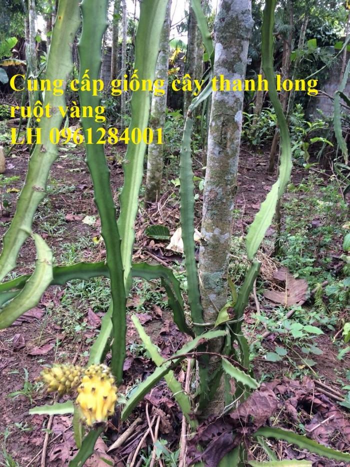 Cung cấp giống Thanh long vỏ vàng Malaysia, thanh long vàng0