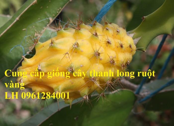 Cung cấp giống Thanh long vỏ vàng Malaysia, thanh long vàng3