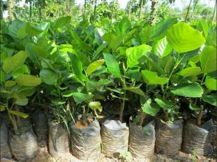 Bán giống mít trái dài, viện cây giống trung ương. cung cấp số lượng lớn, ưu đãi cho khách trồng.9