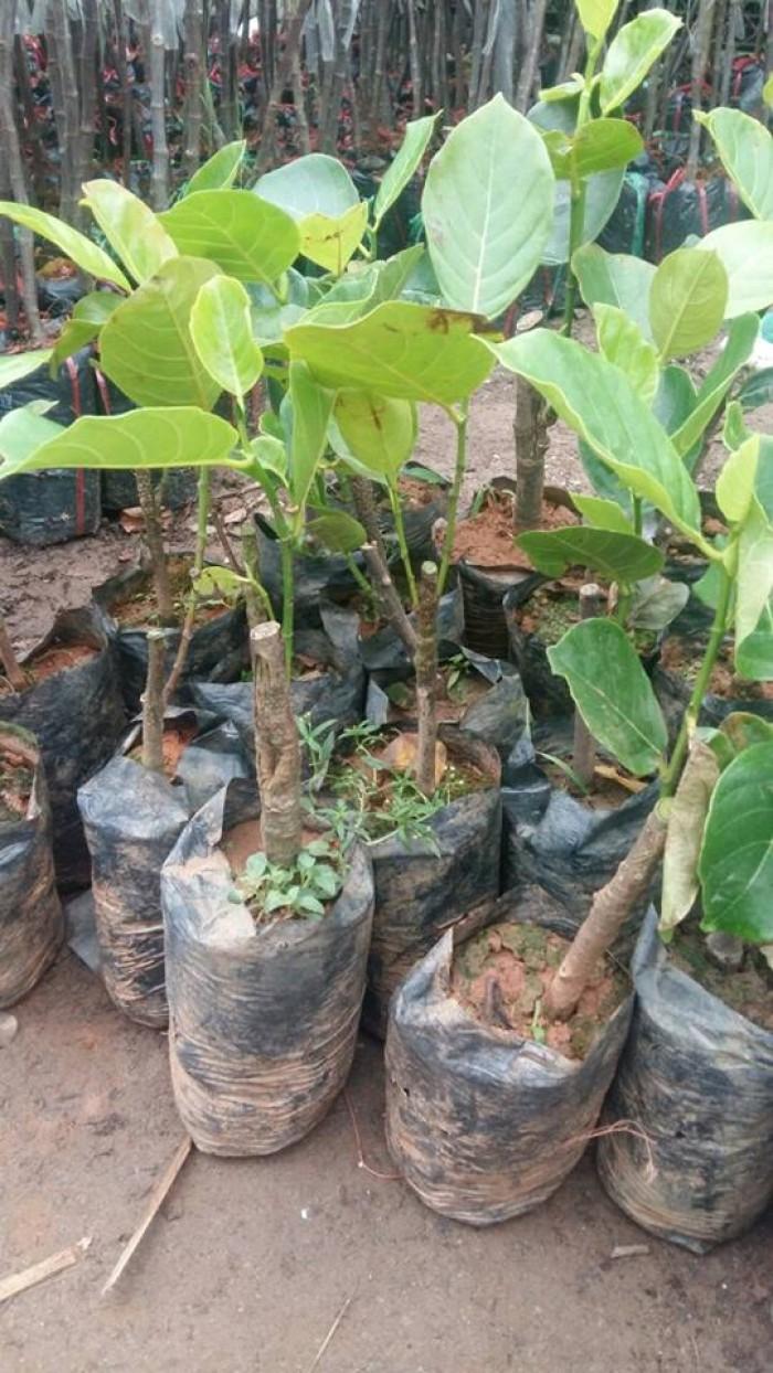 Bán giống mít trái dài, viện cây giống trung ương. cung cấp số lượng lớn, ưu đãi cho khách trồng.2