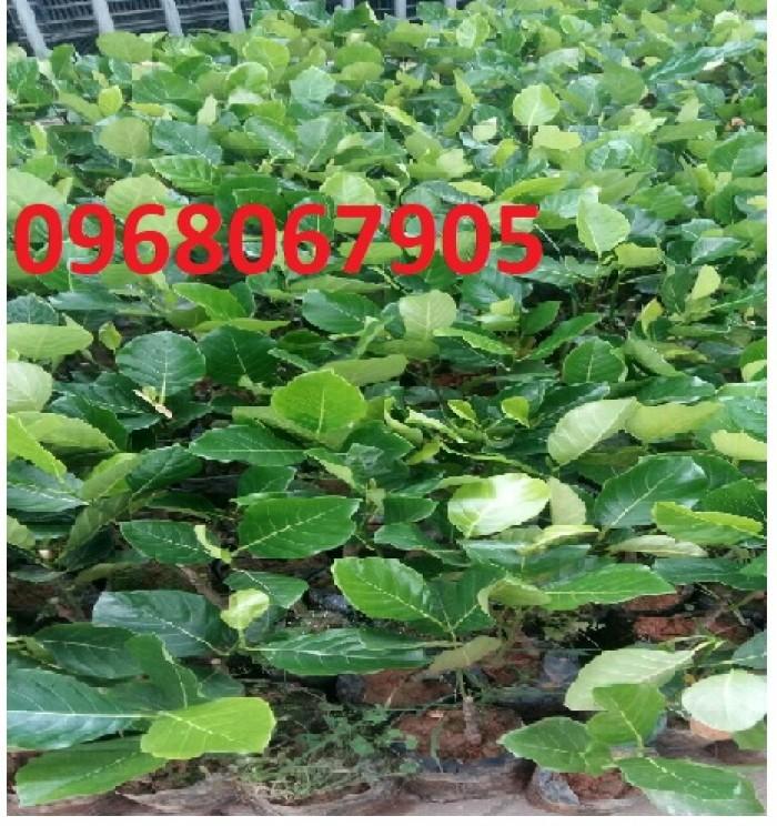 Bán giống mít trái dài, viện cây giống trung ương. cung cấp số lượng lớn, ưu đãi cho khách trồng.5