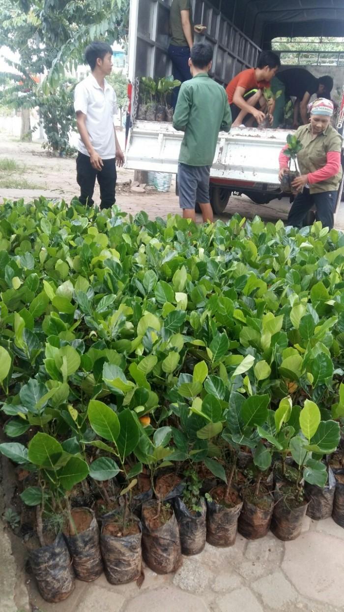 Bán giống mít trái dài, viện cây giống trung ương. cung cấp số lượng lớn, ưu đãi cho khách trồng.1