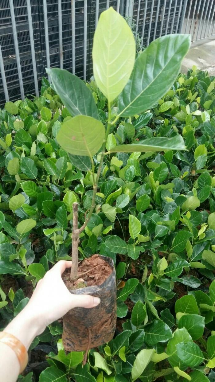 Bán giống mít trái dài, viện cây giống trung ương. cung cấp số lượng lớn, ưu đãi cho khách trồng.3