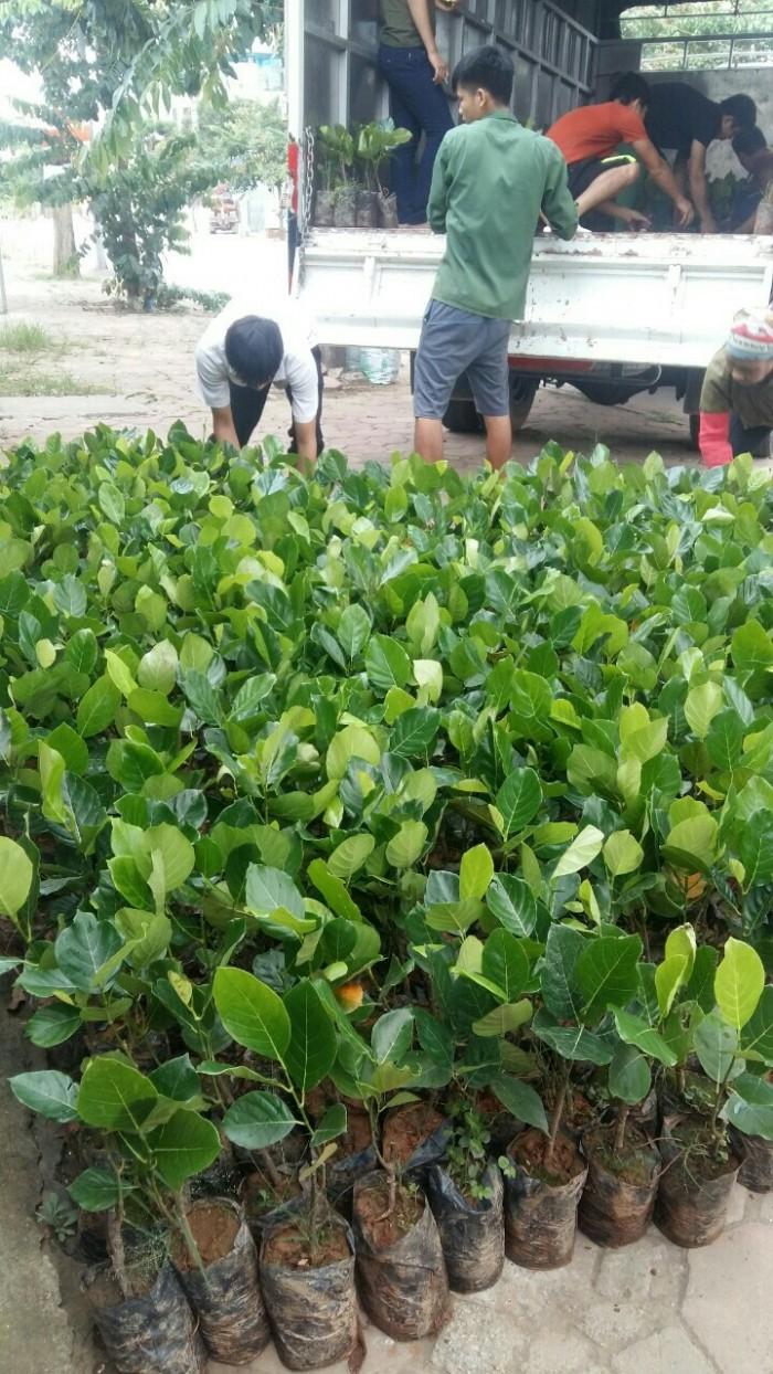 Bán giống mít trái dài, viện cây giống trung ương. cung cấp số lượng lớn, ưu đãi cho khách trồng.0
