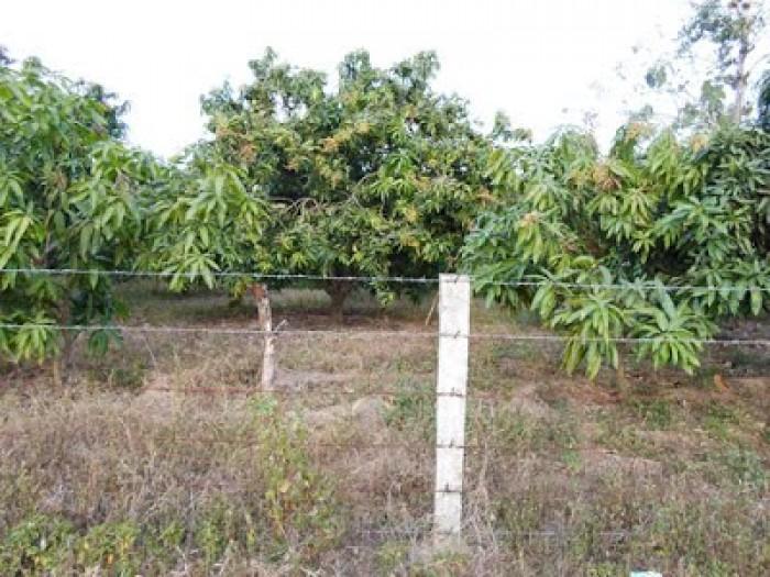 Dì Mười có miếng đất vườn trồng xoài rộng 2388m2 ở Bình Chánh cần bán