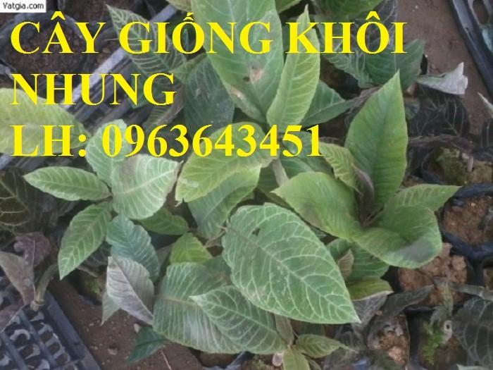 Cung cấp cây giống khôi nhung, cây giống khôi tía, cây khôi giống số lượng lớn, hỗ trợ bao tiêu đầu ra5