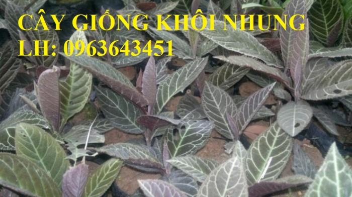Cung cấp cây giống khôi nhung, cây giống khôi tía, cây khôi giống số lượng lớn, hỗ trợ bao tiêu đầu ra4