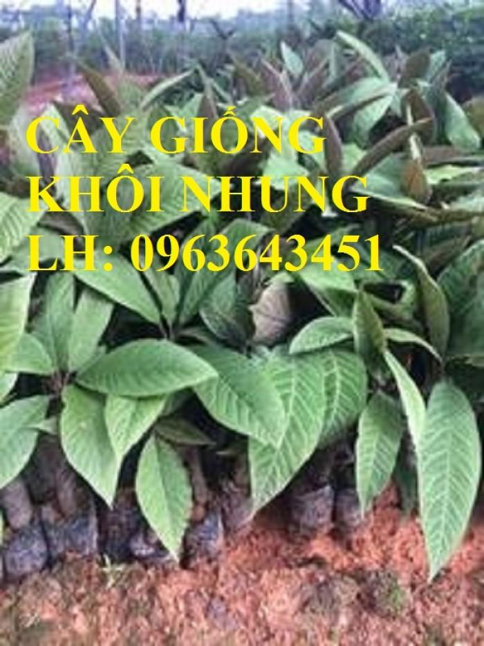 Cung cấp cây giống khôi nhung, cây giống khôi tía, cây khôi giống số lượng lớn, hỗ trợ bao tiêu đầu ra1