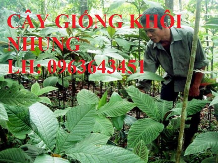 Cung cấp cây giống khôi nhung, cây giống khôi tía, cây khôi giống số lượng lớn, hỗ trợ bao tiêu đầu ra3