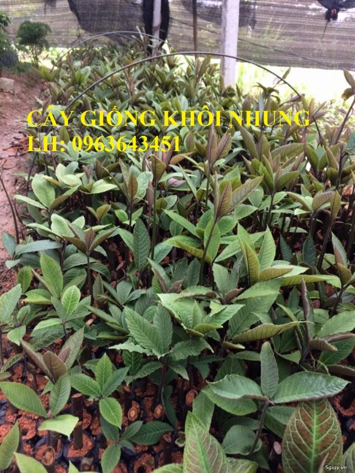 Cung cấp cây giống khôi nhung, cây giống khôi tía, cây khôi giống số lượng lớn, hỗ trợ bao tiêu đầu ra0