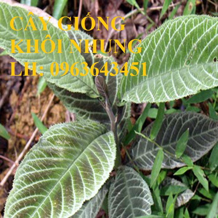 Cung cấp cây giống khôi nhung, cây giống khôi tía, cây khôi giống số lượng lớn, hỗ trợ bao tiêu đầu ra2