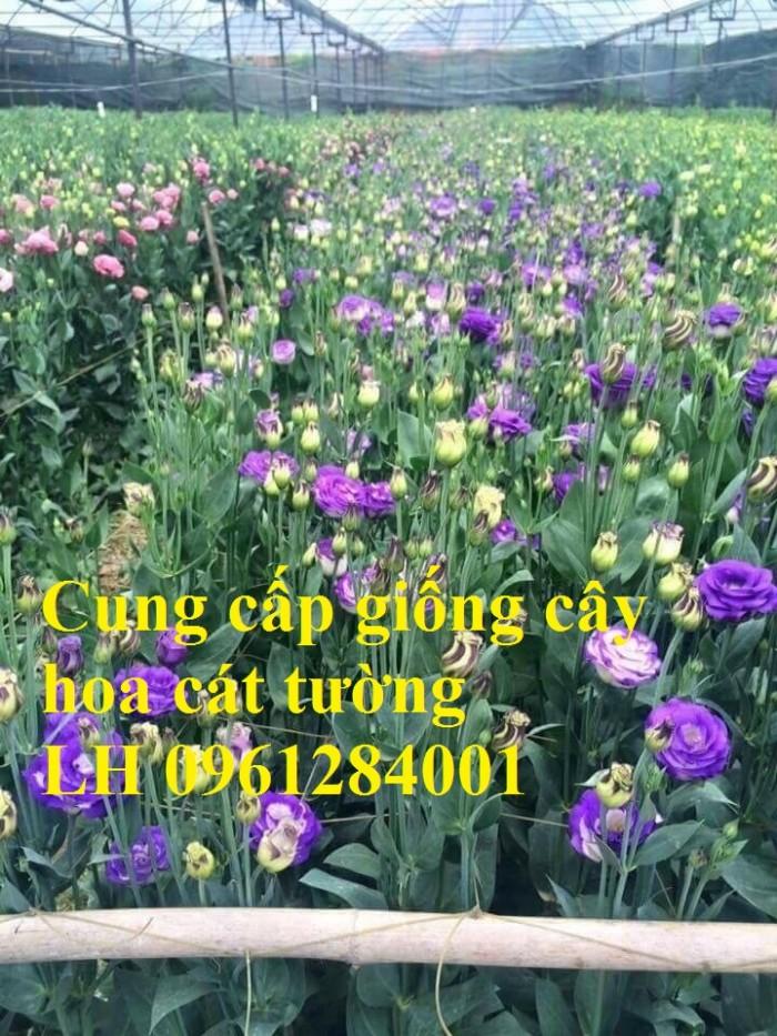 Cung cấp giống cây hoa cát tường, hoa cát tường nuôi cấy mô, hoa tết 20190