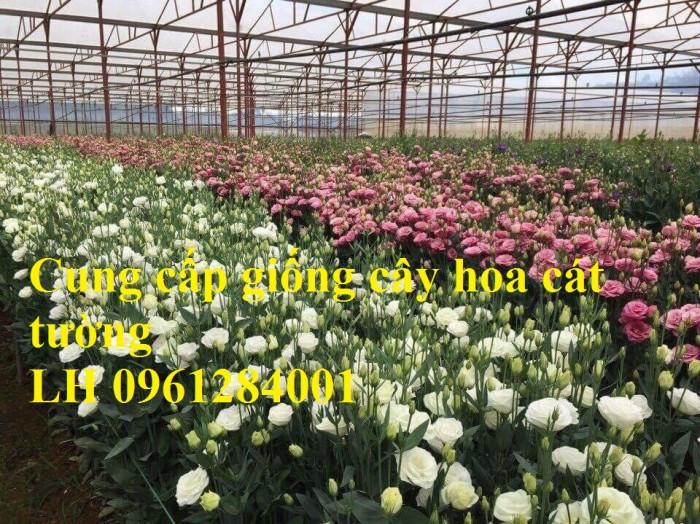 Cung cấp giống cây hoa cát tường, hoa cát tường nuôi cấy mô, hoa tết 20196
