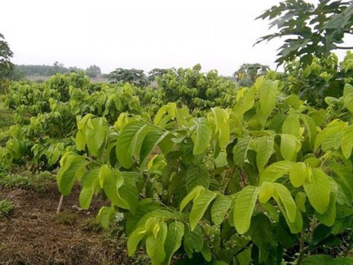 Viện cây giống trung ương, na thái lan cung cấp hàng chuẩn giống, cam kết chất lượng.3