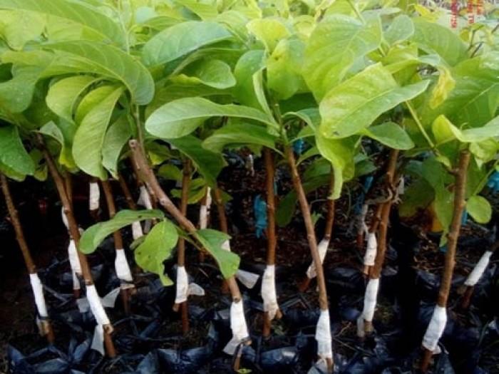 Viện cây giống trung ương, na thái lan cung cấp hàng chuẩn giống, cam kết chất lượng.0