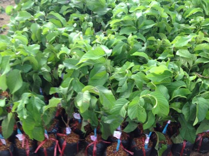 Viện cây giống trung ương, na thái lan cung cấp hàng chuẩn giống, cam kết chất lượng.1