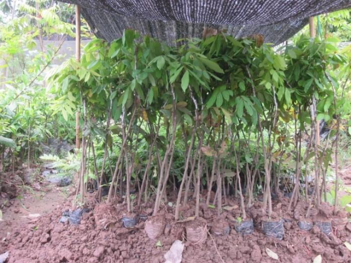 Giống nhãn hà tây, nhãn muộn hà tây, nhãn cho năng xuất cao. cung cấp cây choai 1 năm tuổi1