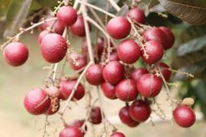 Viện cây giống trung ương, giống nhãn tím. nhãn tím nhập khẩu từ Thái Lan.1