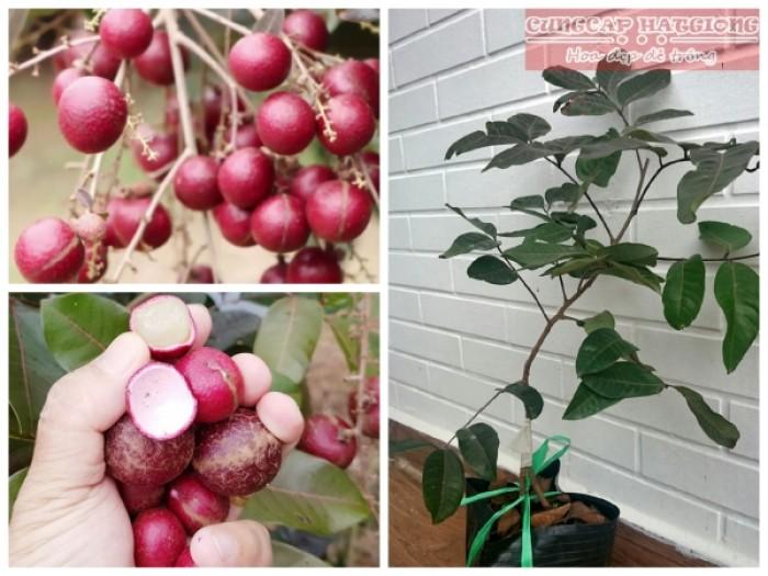 Viện cây giống trung ương, giống nhãn tím. nhãn tím nhập khẩu từ Thái Lan.3