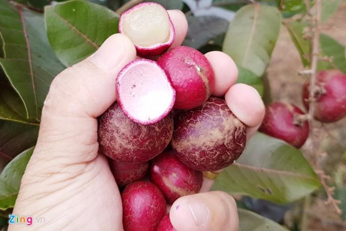 Viện cây giống trung ương, giống nhãn tím. nhãn tím nhập khẩu từ Thái Lan.5
