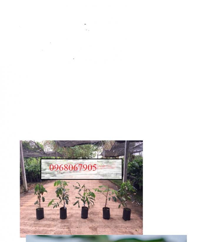 Viện cây giống trung ương, giỗng nhãn không hạt, chuẩn giống, số lượng lớn.8
