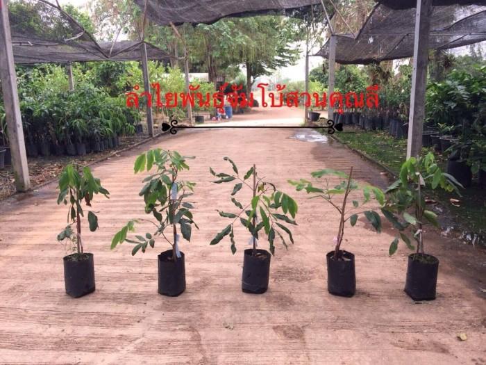 Viện cây giống trung ương, giỗng nhãn không hạt, chuẩn giống, số lượng lớn.4