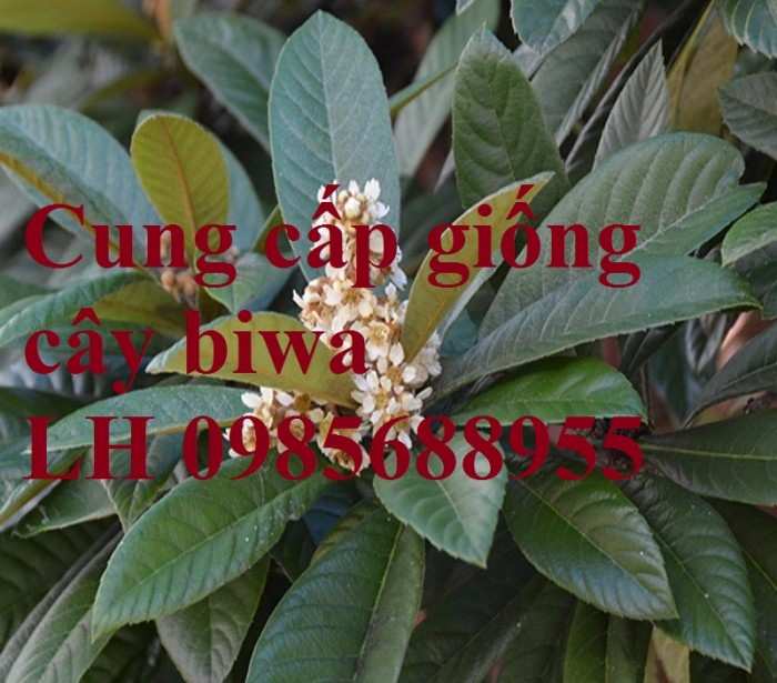 Cung cấp giống cây biwa, cây mận nhật, cây tỳ bà, cây giống chất lượng cao2
