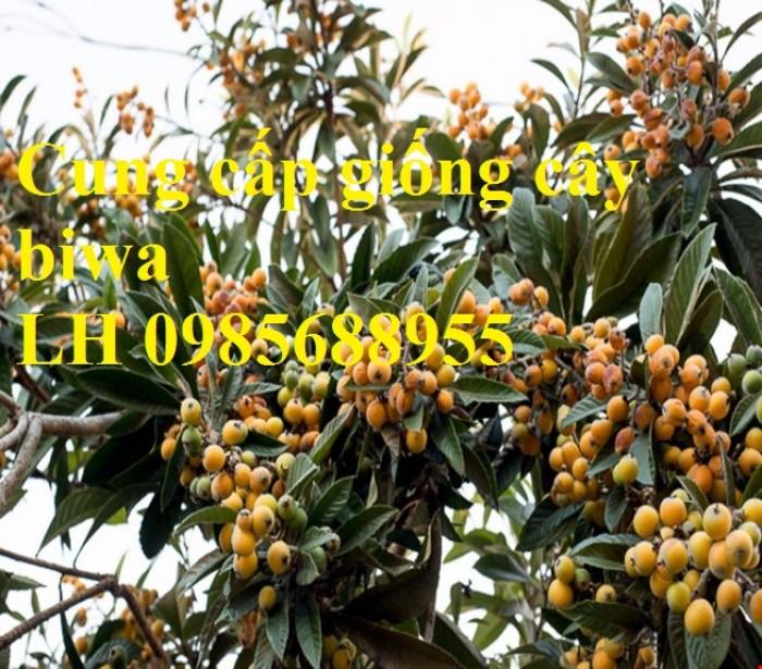 Cung cấp giống cây biwa, cây mận nhật, cây tỳ bà, cây giống chất lượng cao3