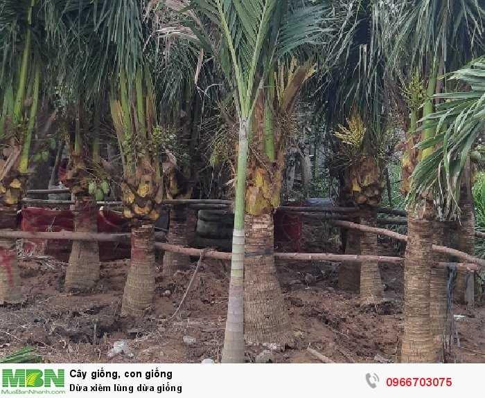 Dừa xiêm dừa cảnh quan1