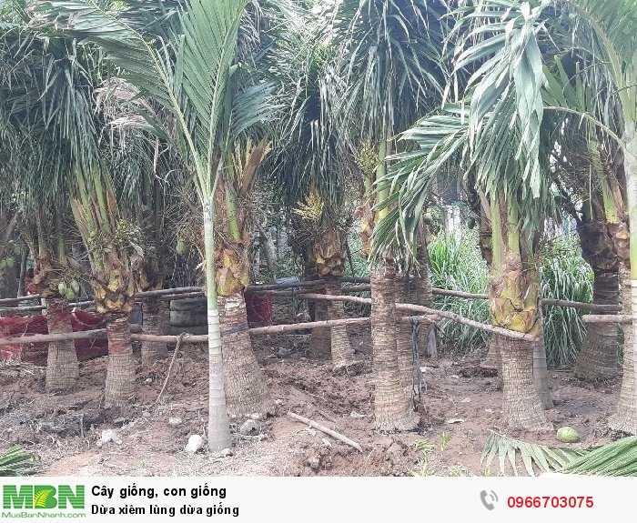 Dừa xiêm dừa cảnh quan2