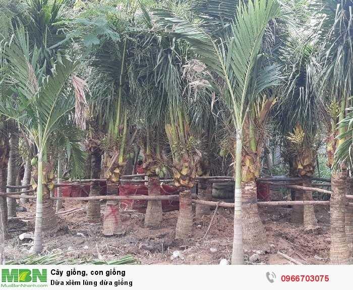 Dừa xiêm dừa cảnh quan3