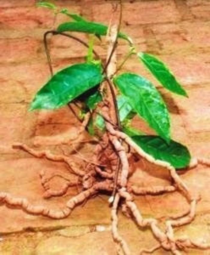 Giống đẳng sâm loại sâm việt nam, giống cây tuyệt vời đối với sức khỏe con người8
